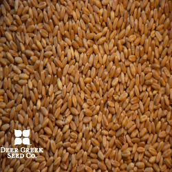 Jerry Hard Red Winter Wheat