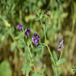 Vernal Alfalfa