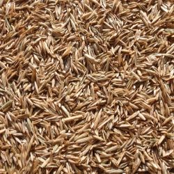 Annual Ryegrass (Turf)