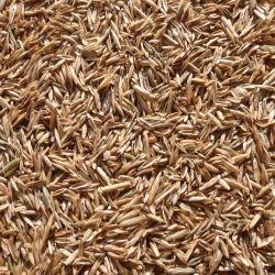 Pasco Turf Perennial Ryegrass