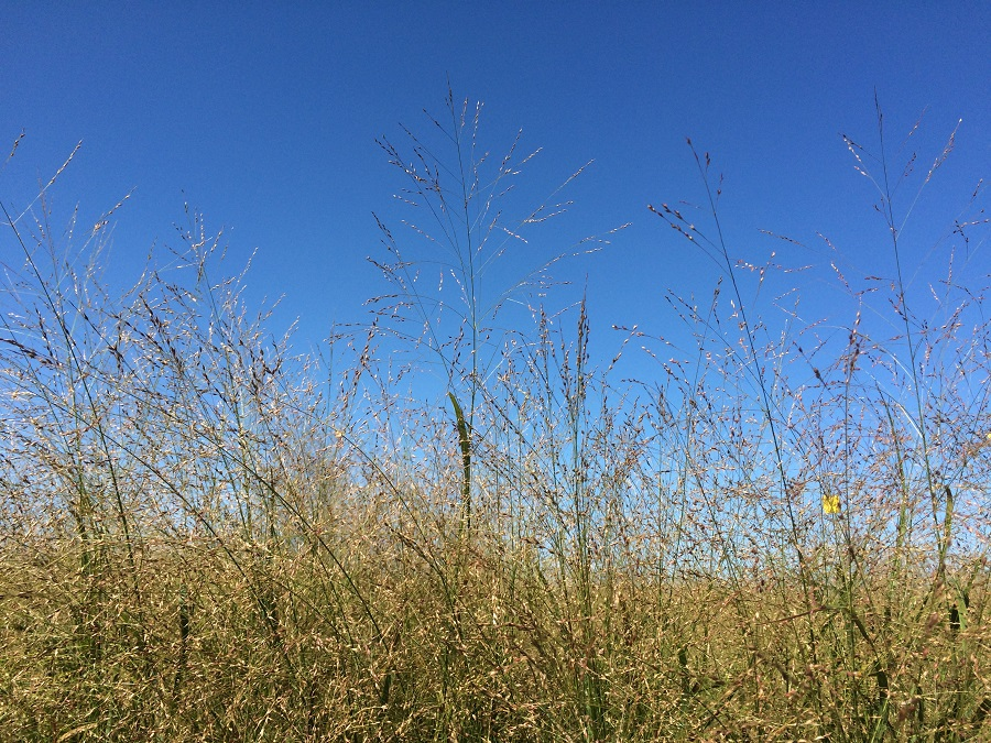 How to Establish and Maintain a Switchgrass Stand