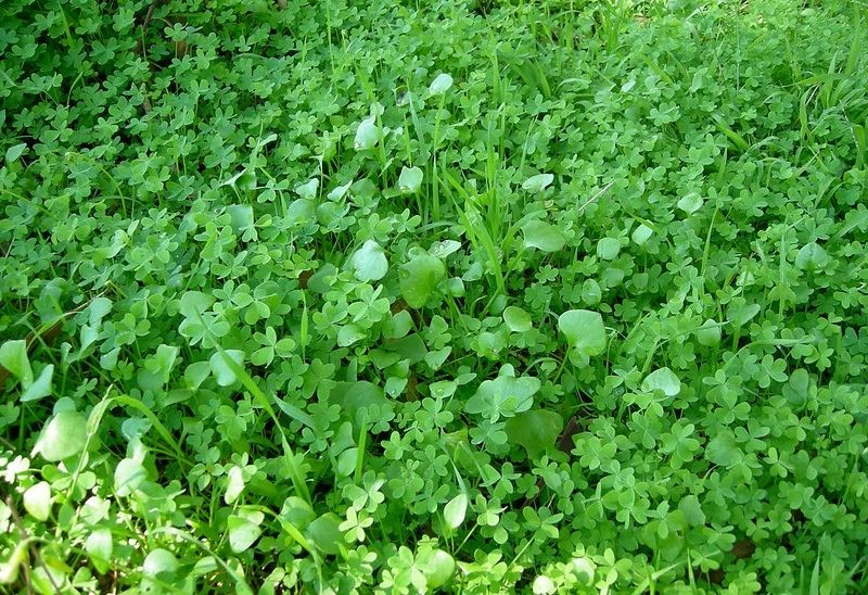 clover growing in the backwoods