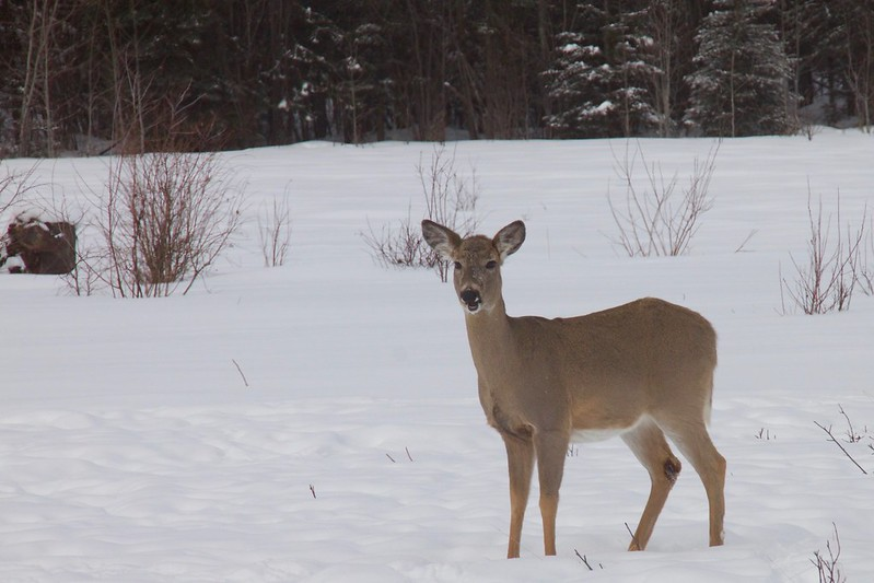 Doe in the snow on a food plot