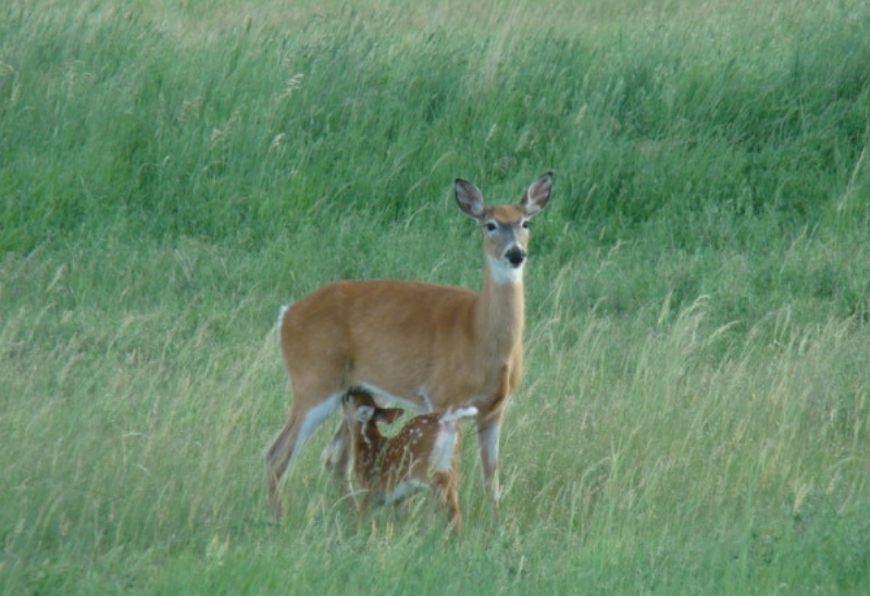 Doe Feeding Young in a food plot