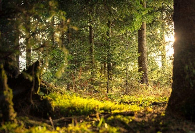 forest light hitting food plot