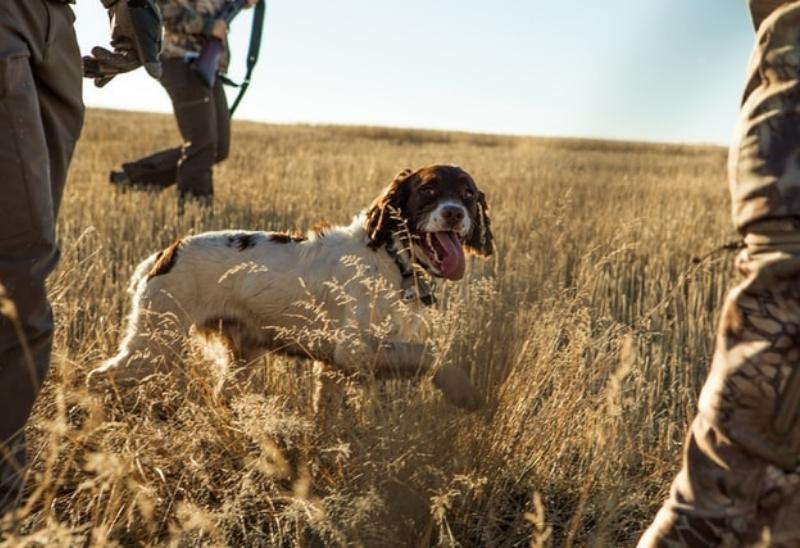 Deer Creek Seed dog running in the field