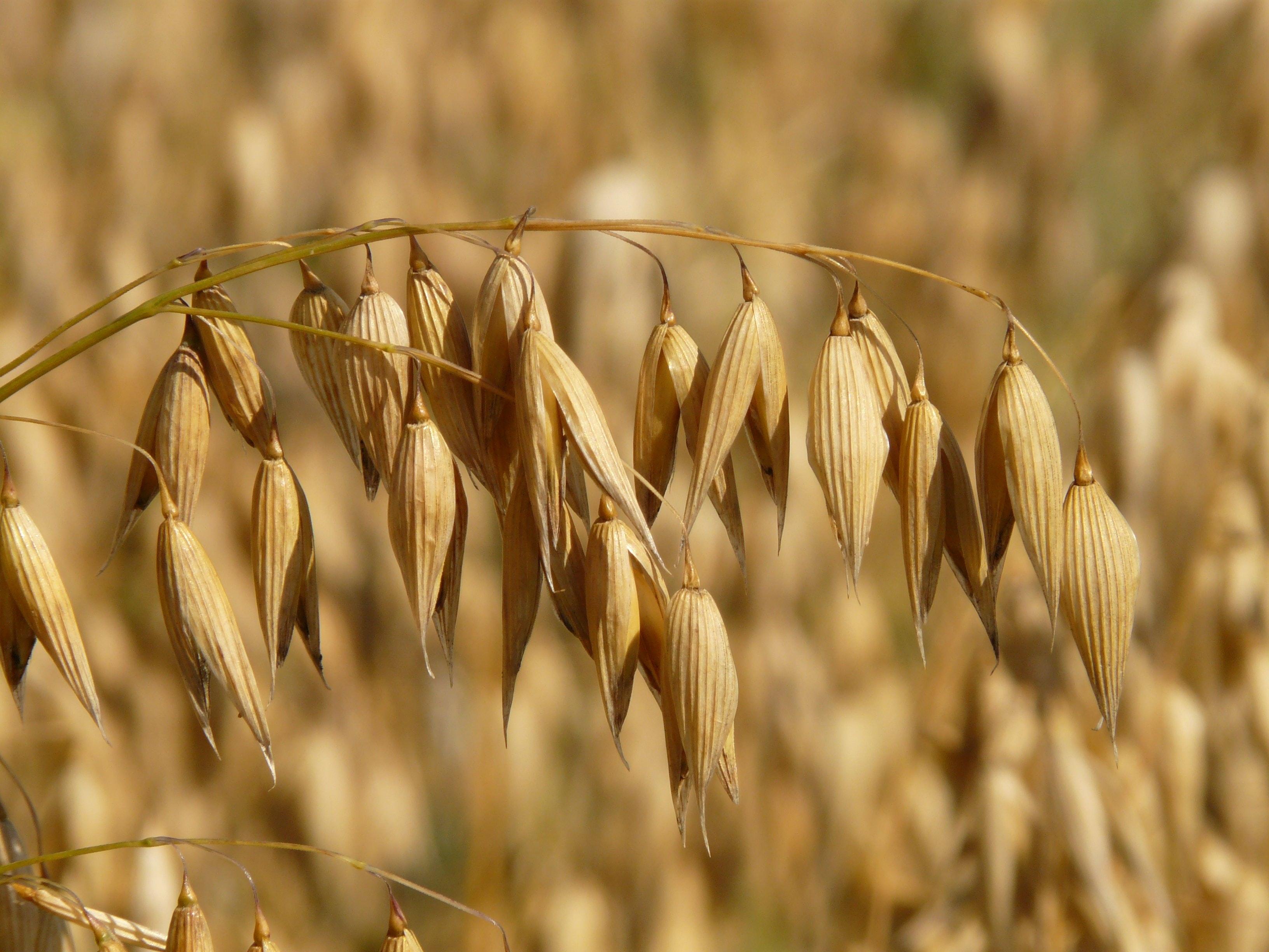 Deer eat grains and oats
