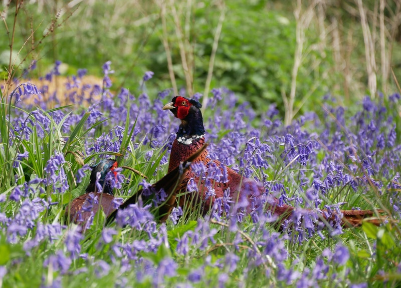 pheasant in pollinator mix cover