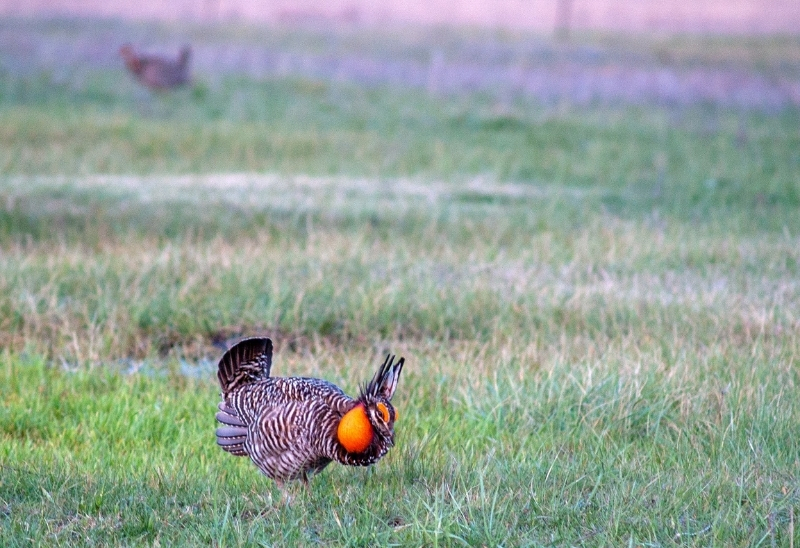 Deer Creek Seed Chicken on Prairie