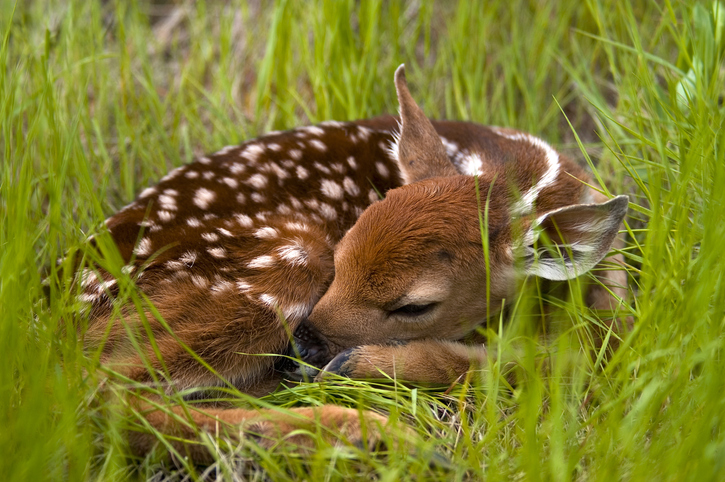 napping fawn in field of clover