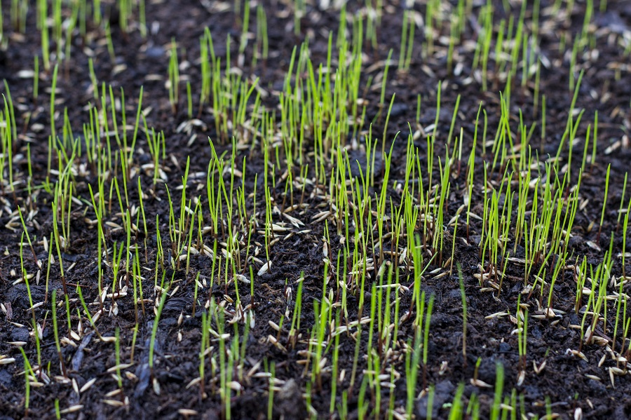 deer creek seed turf seedlings
